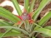 Ananas på vej til at blive en lækkerbisken